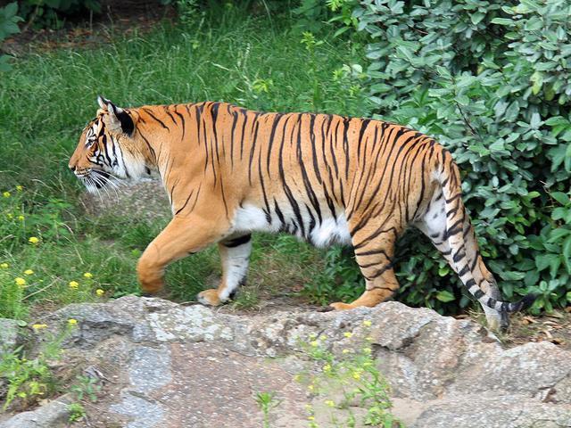 野外遇见老虎生存几率 野外遇到老虎怎么逃生