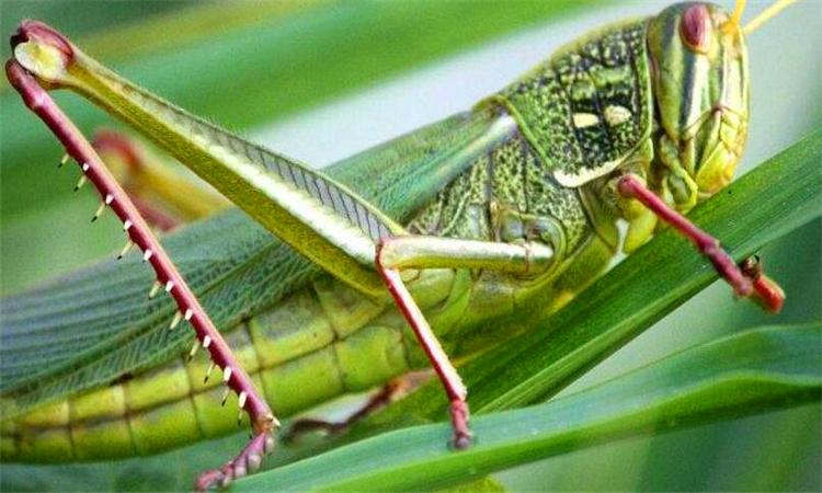 蝗虫和蚂蚱的区别 蚂蚱会变成蝗虫吗