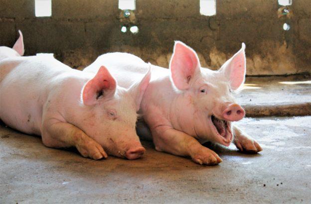 猪是新疆人的祖先吗 新疆人为什么不吃猪肉